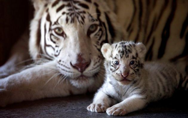 Uno de los tres cachorros de tigre de Bengala blanco recién nacido se representa con su madre en el zoológico La Pastora en el municipio de Guadalupe, México. Foto: Reuters