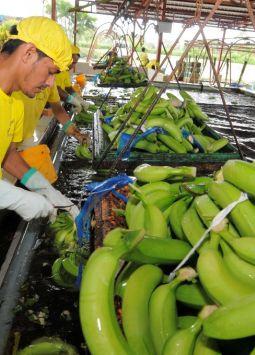 Nuestro país vendió al mercado estadounidense 11,7 millones de cajas de banano.
