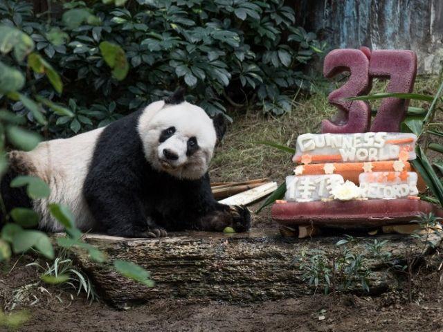Jia Jia ha establecido dos récords Guinness convirtiéndose en el panda vivo más viejo en cautividad y el que ha pasado más tiempo en cautividad de la historia. Fotos: AFP.