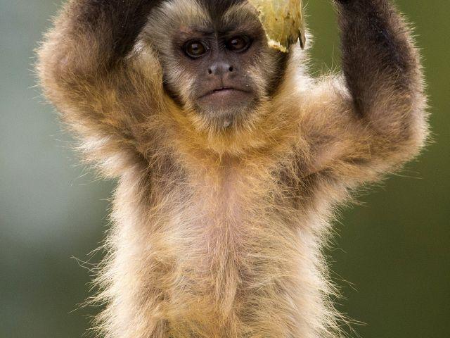 Un mono capuchino capuchón negro juega con un poco de comida en su recinto en el zoológico de Olmen. Foto: REUTERS