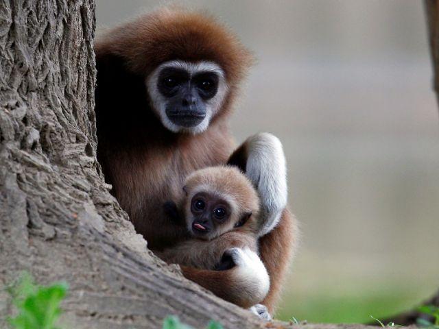Un primer bebé gibón de mano blanca nacido en el zoológico de Skopje es visto con su madre, Macedonia del Norte. Foto: Reuters