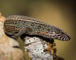 """Los científicos propusieron denominar a esta nueva especie como """"Lagartija andina de Machu Picchu"""". Foto: Sernanp"""