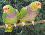 """La población de la especie """"Amazona vinacea"""" se estima en cerca de 3.000 ejemplares."""
