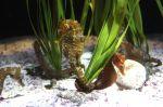 El estudio de las colas d elos caballitos de mar puede servir de inspiración para la creación de robots y dispositivos médicos.