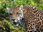 Jaguar de la Amazonía o pantera onca.