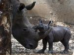 os cuernos de rinocerontes están hechos de queratina. Un kilo puede valer hasta 65.000 dólares.