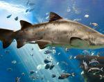 Confundido a veces con el tiburón toro por su coloración y por merodear los sistemas fluviales, tiene dos aletas dorsales y uno de sus dientes inferiores sobresale como una lanza. Foto: Wikicommons.