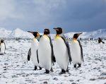 Dos terceras partes de las 18 especies de pingüinos del planeta, de las Galápagos hasta la Antártida, están en declive. | Foto referencial: Flickr.