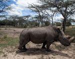 La reserva natural de Ol Pejeta (Kenia) y la red social Tinder han lanzado una campaña para recaudar $ 9 millones. | Foto: Reuters.