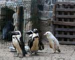 El bebé pingüino, que todavía no tiene nombre y del que todavía se desconoce el sexo, nació el 14 de diciembre. Foto: AFP