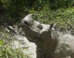 El rinoceronte llamado Tam tenía 30 años y fue capturado en 2008. Foto: Reuters.