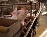 La mayoría de jaulas donde se encuentran animales de granja son estériles, estrechas y no permiten al animal moverse libremente. Foto: AFP.