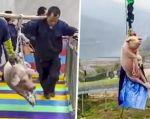 Un cerdo es arrojado al aire para promover atracción de parque temático.