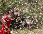 Somalia es el primer país de la región que se ha movilizado para luchar contra la plaga de langostas que azota el este de África. Foto: Reuters.
