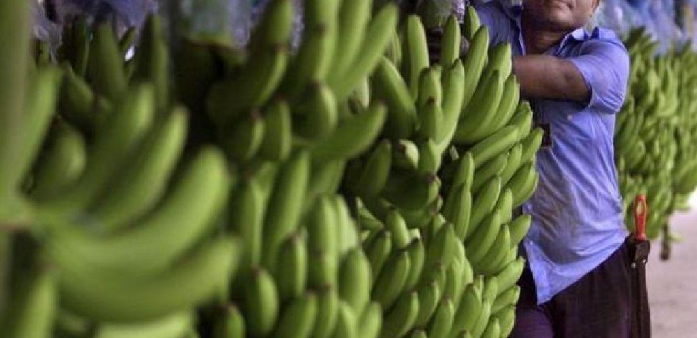 Ecuador es en la actualidad el mayor suministrador de plátanos a Rusia. Foto: archivo AFP