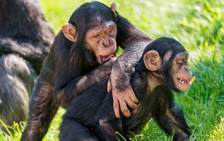 Los chimpancés dedican buena parte del día a su acicalamiento, que suelen realizan por parejas. Foto: Flickr.