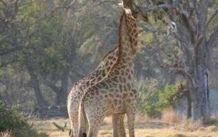 Las jirafas, que no estaban bajo gran riesgo de extinción, figuran en la lista de animales vulnerables. Foto: UICN