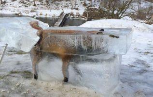 Se cree que el zorro cayó dentro del río Danubio, que estos días se ha congelado debido a las bajas temperaturas.