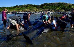 FAREWELL SIPT, Nueva Zelanda.- Unas 300 ya habían muerto cuando fueron localizadas, y cerca de 500 voluntarios intentaron entonces salvar a las ballenas supervivientes poniéndolas a flote. Foto: AFP