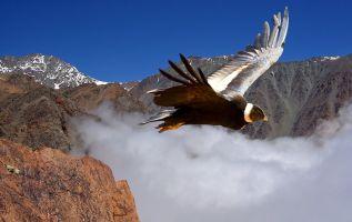 Se trata de un ave carroñera. Se caracteriza por su gran tamaño, pudiendo tener hasta 3 metros de envergadura alar, el cuerpo y la cabeza son de color negro, el cuello está desprovisto de plumas. Foto: Ecuador Turístico