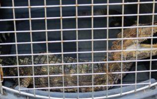 Entre los animales encontrados están un mono araña, una tortuga charapa, una tortuga motelo, una guanta, dos serpientes y otras especies. Foto: El Ciudadano