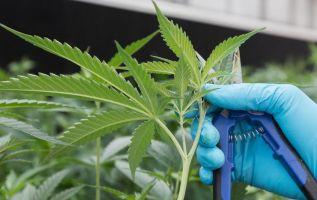 La legalización es también celebrada en la Bolsa de Toronto, donde miles de millones de dólares se han invertido en esta nueva industria. Foto: AFP