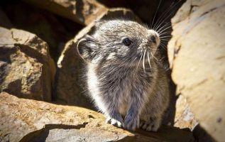 """El """"Melomys rubicola"""" fue declarado extinto por recomendación del independiente Comité Científico de Especies Amenazadas."""