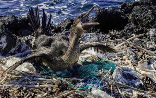 Un cormorán no volador (Nannopterum harrisi) se sienta en su nido rodeado de basura en la costa de la Isla Isabela en el Archipiélago de Galápagos en el Océano Pacífico. Foto: AFP