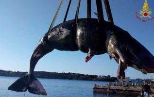 La ballena, una hembra joven, desembarcó en Porto Cervo, un balneario en el norte de la isla italiana de Cerdeña.