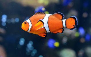 El pez payaso común, que vive cerca de los arrecifes de coral, se enfrenta a un enemigo que no deja de ganar terreno: la luz artificial. Foto: AFP.