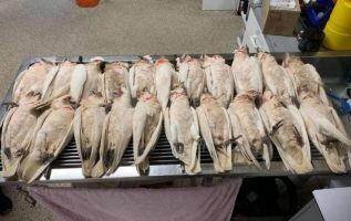 """""""Las aves no podían volar y estaban tendidas en el suelo llorando de dolor"""". Foto: Casper's Bird Rescue."""