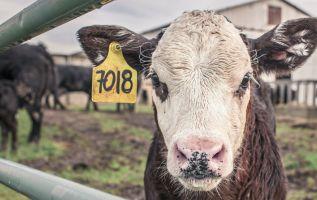 Un caso similar ocurrió en los ochenta y el ganadero atribuyó la muerte de su vaca a extraterrestres. Foto: Pixabay.
