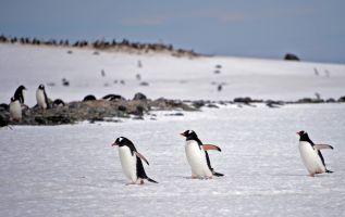 El pingüino es, sin duda, el animal más emblemático del continente. Cuatro especies viven allí durante todo el año. Foto: AFP
