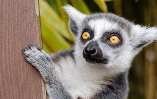 Los lémures son primates arborícolas reconocidos por su nariz puntiaguda y su larga cola.