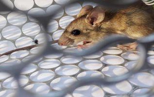 El hantavirus no es un nuevo patógeno, no surgió en China.