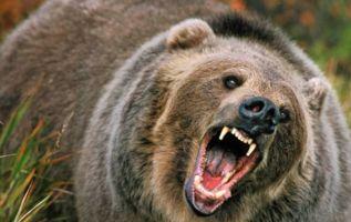 Ocurrió en Yaroslavl, Rusia. La zona es poblada por 600.000 habitantes, quienes ya habían advertido del animal que rondaba por las calles. De hecho, ese día circularon vídeos del oso cruzando de vereda en vereda.