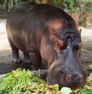 """El ejemplar, considerado un """"ícono"""" del principal zoológico de El Salvador, fue atacado la noche del pasado miércoles. Foto: PARQUE ZOOLÓGICO DE EL SALVADOR"""