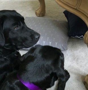 Una vez excluidos por la CIA, los perros pueden ser adoptados por los instructores. Foto: RT
