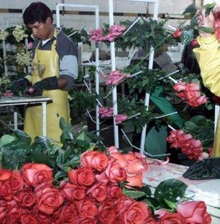 Variedades de gran belleza y una calidad sin igual hacen de las rosas ecuatorianas uno de los productos más codiciados en el mundo. Foto: archivo