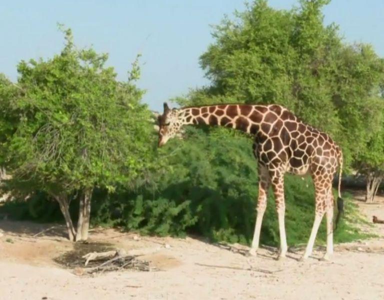 Las gacelas de montaña y del desierto conviven en Sir Bani Yas con jirafas y leopardos.