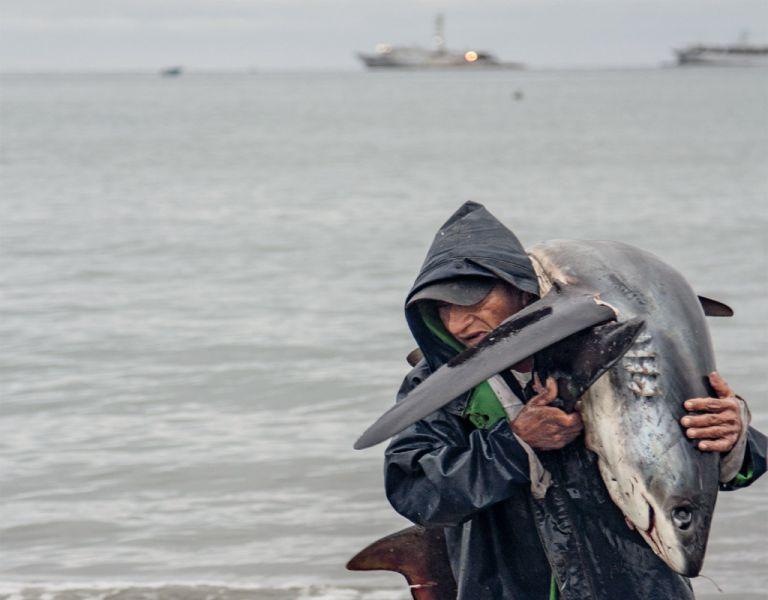 El tiburón zorro (thresher, en inglés) localmente conocido como rabón por su cola larga, acaba de ser incluido en la lista de animales que requieren protección en la Convención sobre la Conservación de Especies Migratorias. Foto: Magap
