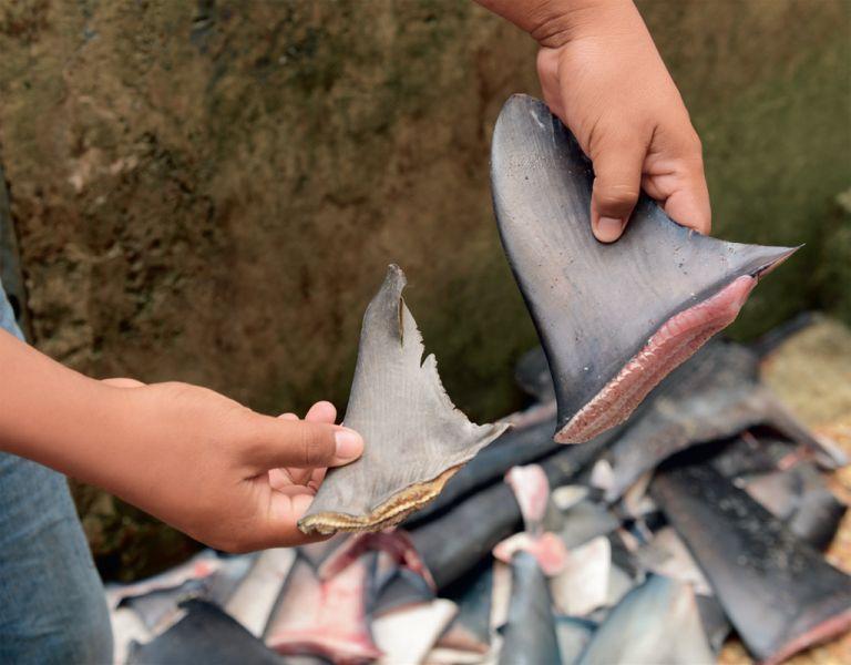 En Santa Rosa, puerto pesquero de Santa Elena, se venden aletas frescas y secas. El precio se cotiza según la demanda de las empresas exportadoras.