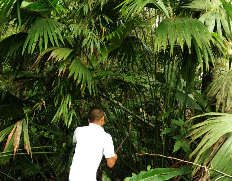 """""""Carludovica palmata"""", nombre científico de la paja toquilla, herbácea relacionada con la palma y conocida también como """"jipijapa""""."""