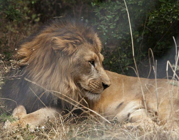 Solo quedan alrededor de mil ejemplares del león abisinio (Panthera leo abyssinica). Foto: AFP