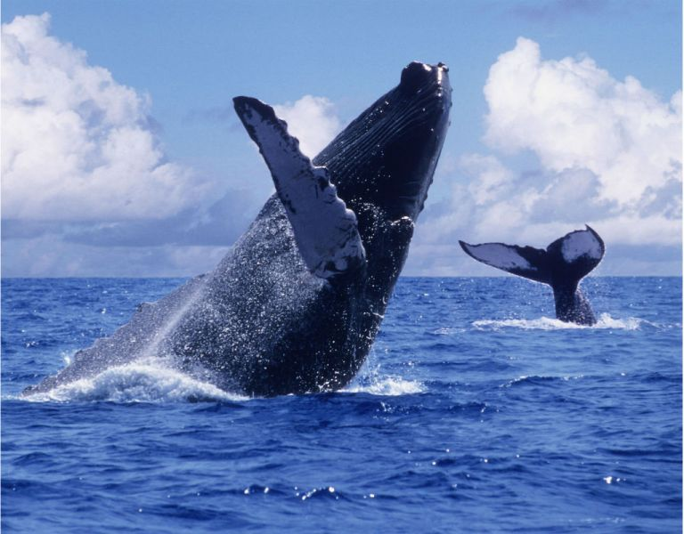 Sólo dos tipos de poblaciones deben ser consideradas en peligro de extinción: las del Mar Arábigo y Cabo Verde y las del noroeste de África.
