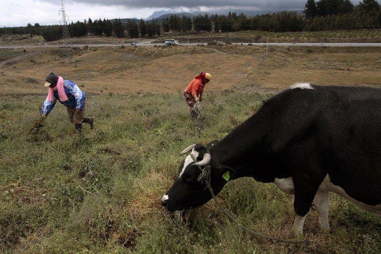 La caída de ceniza también afecta los cultivos y a los animales. Foto: AFP