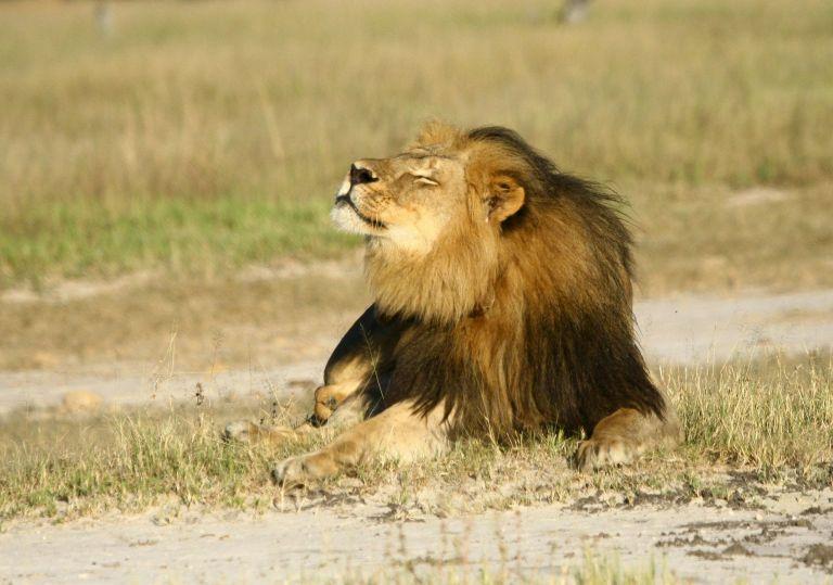 En este mismo parque fue abatido ilegalmente el pasado julio Cecil, el león más famoso del país. En la imagen, Cecil. Foto: Archivo / REUTERS.