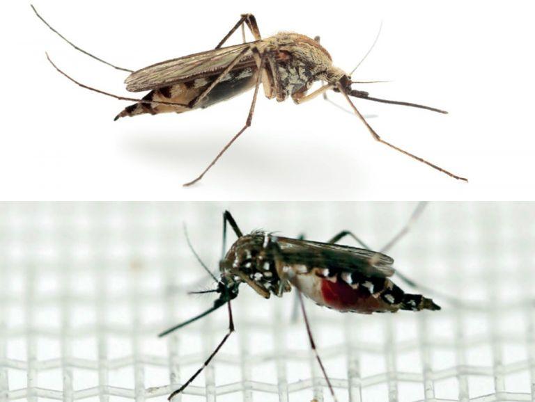 Anopheles (arriba) y Aedes Aegypti.