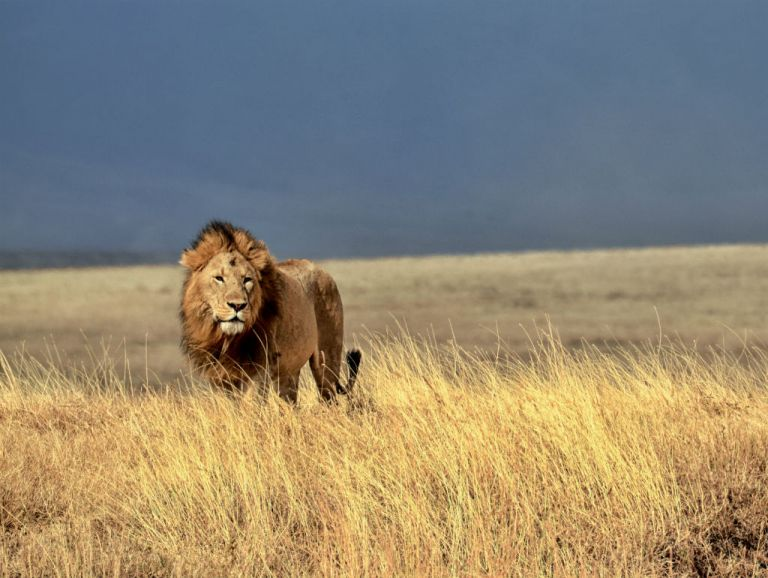Un estudio pronostica que sin un esfuerzo de conservación mayor, el león podría extinguirse en su hábitat natural y existir solo en terrenos gestionados artificialmente.