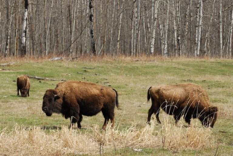 El Parque Nacional Wood Buffalo tiene un área de 44.807 km² y fue declarado Patrimonio de la Humanidad en 1983.| Foto: 4gress.